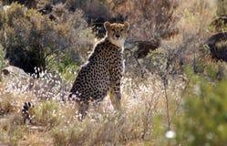 Observation de guépard photographie stock
