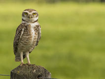 Observation de hibou Photos stock