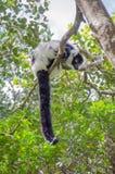 Observation de lémur photo stock