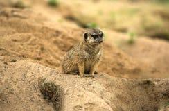 Observation de Meerkat Photo libre de droits
