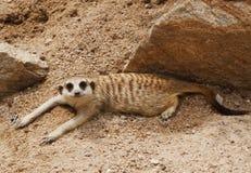 Observation de peu de meerkat sauvage Photos stock
