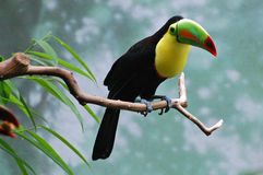 Observation de toucan Photo stock