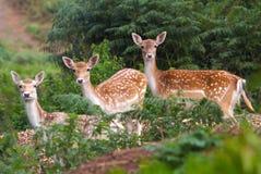 Observation de trois cerfs communs Photographie stock libre de droits