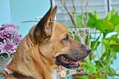 Observation et attente du chien Photos libres de droits