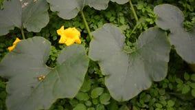 Big pumpkin on ground. Observation footage of ripening big pumpkin plant on garden ground stock video footage