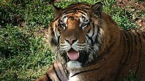 Observation haute étroite de tigre clips vidéos