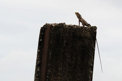 Observation Post. A lizard on a broken pillar in observation post Royalty Free Stock Image