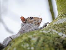 Observation vue par Grey Squirrel adulte de femelle, vu près de son drey sur un grand arbre Images libres de droits