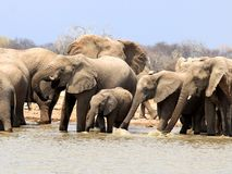 Elefantenherde - Namibia Africa royalty free stock photography