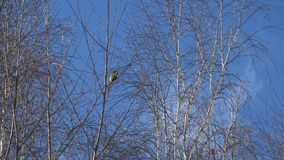 From the life of birds. Observations of different birds in the spring stock footage