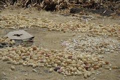 ObservatorySun trocknete Mais in Anden-Bereich, Peru, Südamerika lizenzfreie stockfotos
