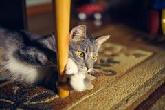 Observe el gato el mentir en una emboscada imagen de archivo libre de regalías