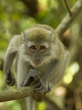 Observe - Singapore Monkey. Filmed in Macriche Reserve, Singapore Royalty Free Stock Images