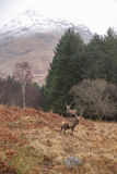 Observed. Two deers with snowy mountains in the background,  Scottish Highlands Royalty Free Stock Photo