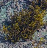 Observer les algues marines dans l'Ortegal photographie stock