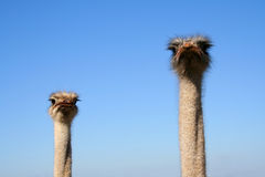 Observers. Two starring Ostrich. Supervision system Stock Photo