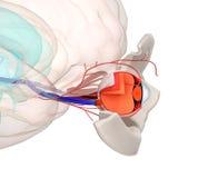 Observez l'anatomie et la structure, les muscles, les nerfs et les vaisseaux sanguins de Photographie stock libre de droits