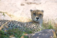 Observing Cheetah. A resting cheetah stays observance for potential danger Stock Image