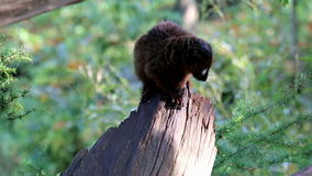 An observing and eating red-ruffed lemur Royalty Free Stock Photos