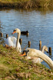 Observing and feeding the swans and ducks on the banks of the pond Royalty Free Stock Image