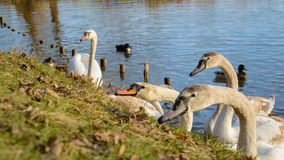Observing and feeding the swans and ducks on the banks of the pond Stock Images
