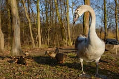 Observing and feeding the swans and ducks on the banks of the pond Stock Photos
