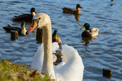 Observing and feeding the swans and ducks on the banks of the pond Stock Image