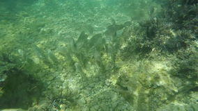 Observing fishes over rocky sea bottom. Slow motion diving and observing fishes over the rocky shallow sea bottom of crystal Adriatic sea stock footage