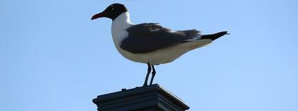 Observing Gull stock image