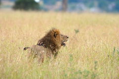 Observing Lion. A male lion stays observance for potential prey Royalty Free Stock Photos
