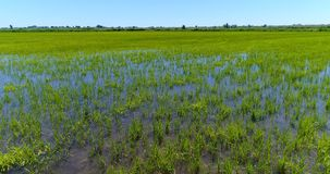 View of green fields with rice cultivation. Observing view in motion with lush green vegetation of rice cultivation on endless fields in sunlight stock footage