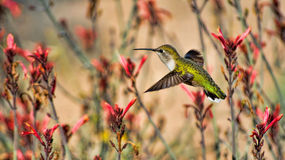 Obsession. A beautiful Hummingbird and a flower garden Stock Photos