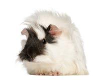 obsiadanie cavia królik doświadczalny porcellus obsiadanie Obrazy Stock