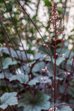 Obsidian Coral Bells (Heuchera) flower Stock Photography