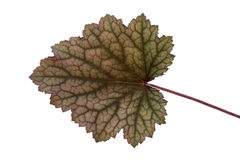 Obsidian Coral Bells leaf stock photography
