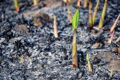Obsiewanie trzcina cukrowa Zdjęcia Royalty Free