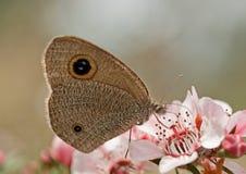 Obskurny Ringowy motyl na Australijskich leptospernum menchiach kwitnie Zdjęcia Royalty Free