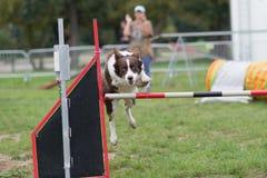 Obstacle sautant de barre de colie de frontière sur la concurrence d'exposition d'agillity Photo stock