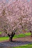 Obstbäume in der Blüte Lizenzfreie Stockbilder