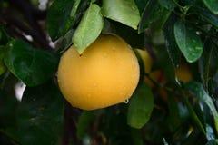 Obstbaum Lizenzfreies Stockbild
