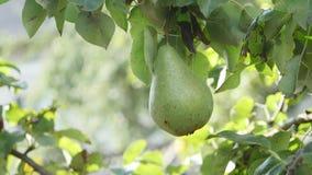 Obstbaum Große Birne hängt am Baum Reife Frucht stock footage