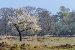 Obstbaum in voller Blüte während des Frühlinges beim Veluwe im Neth Lizenzfreie Stockfotografie