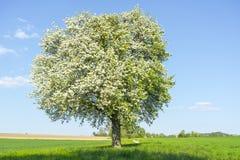 Obstbaum zur Frühlingszeit Lizenzfreies Stockbild