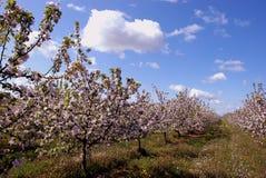 Obstbaumblüte im gardem. Stockfoto