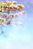 Obstbaumblumen Lizenzfreies Stockfoto