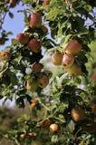 Obstgarten-Äpfel Lizenzfreie Stockfotos