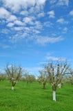 Obstgarten im Frühjahr Stockfoto