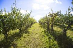 Obstgarten mit glänzenden Bäumen Stockfotos