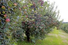 Obstgarten oder rote Äpfel, die an einem Baum hängen Stockbild