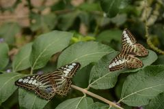 Obstgarten Swallowtail-Schmetterling auf einer Gartenpflanze stockfoto
